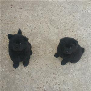 Pure Bred Chinese Chow Chow Pups For Sale