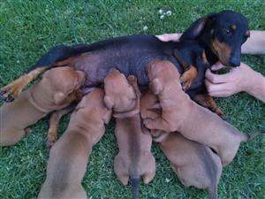 miniature dachshund / worshond pups