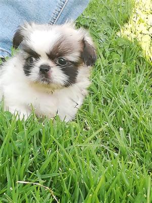 Miniature Pekengise puppies
