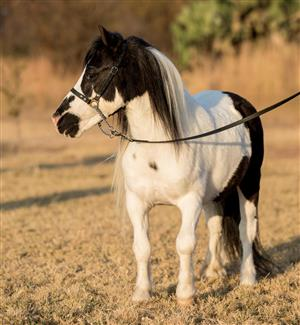 *Registered Miniature horse Pinto Pawprint Stallion for sale*
