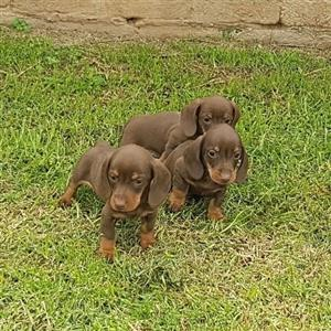 Mini chocolate Dachshund puppies