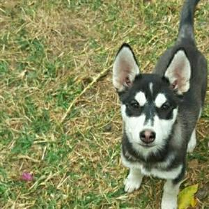Husky puppies black and white