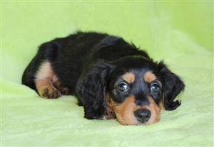 Male longhaired dachshunds for sale