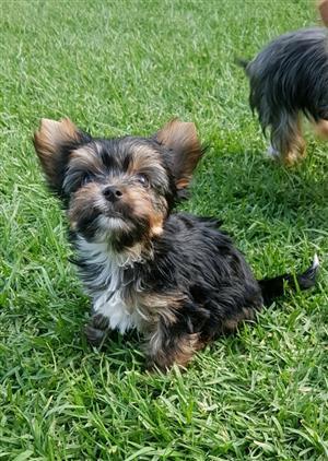 Pocket size Yorkie puppies
