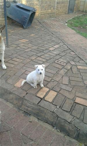White German Shepherd puppy for sale