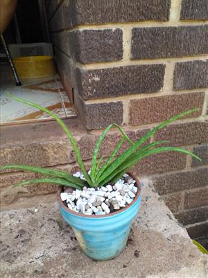 Aloe Vera plants for sale