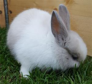 Beautiful baby dwarf rabbits for sale