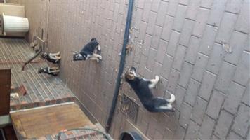 Alsation Puppies