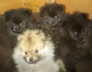 Dark chocolate Pomeranian boy