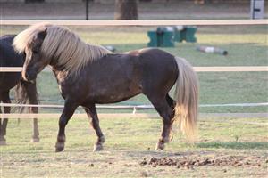 Miniature Stallion: Registered, Small, Silver Dapple