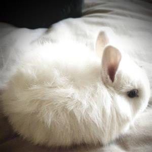 Rabbits (Dwarf Angora Jersey wooly)