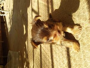 Yorkie female pups for sale