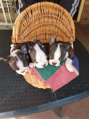Boston Terrier Tefies te koop