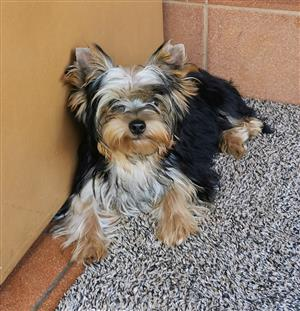 Pocket size Male Yorkies