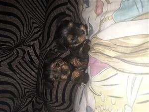 Yorkies for sale 7 weeks old