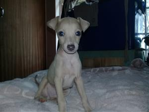 Four Greyhound puppies for sale