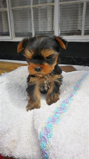 Very Small Yorkie Boy that is Registered