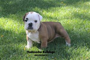 English  bulldog male puppies available