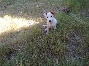 Jack Russell thorough bred pups R2000