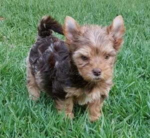 Registered Chocolate Merle Yorkie puppy