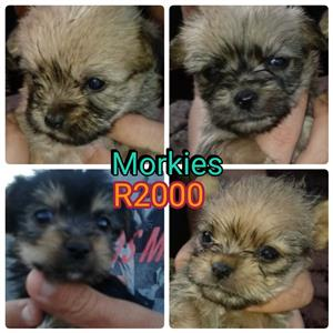 MINIATURE morkies for sale