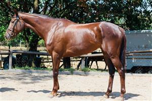Stunning liver chestnut Tb mare