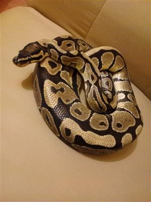 Adult female ball python for sale