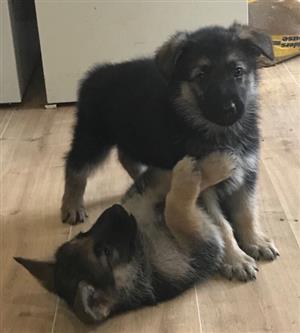 Adorable German Shepard Puppies for Sale