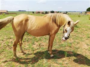 Two Palomino mares