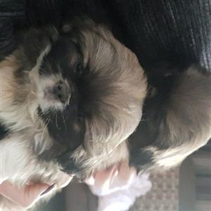 shihtzu puppies male and female