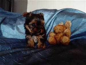 Yorkies chocolate/teacup/pocket