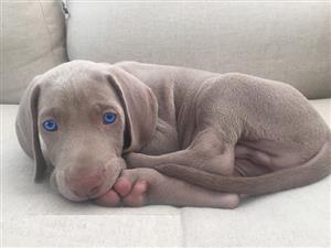Pure breed Weimaraner puppies