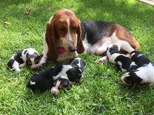 Purebred Basset hound puppies