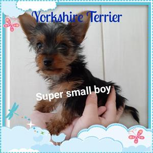 Yorkshire terrier very small boy