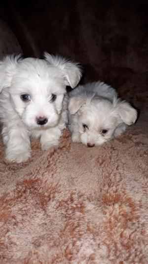 Adorable Small Breed Maltese Puppies