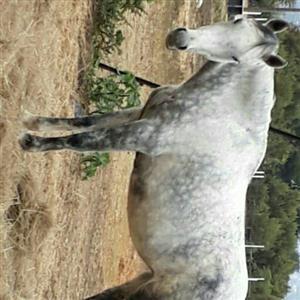 151cm Quarter Horse Mare