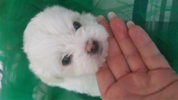 Morkie puppies for sale they are born 26 Sept 2019