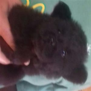 Chow Chow puppies