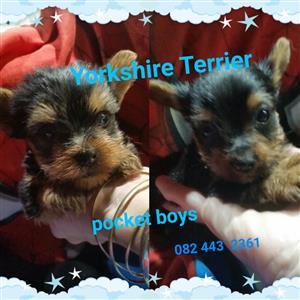 Yorkie pocket male pups