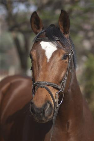 Stunning and talented Tb gelding