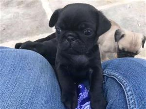 PUG PUPPIES AVAILABLE FOR SALE.
