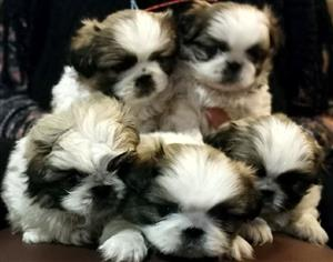 Pekingese Puppies available - Price reduced with R 1000