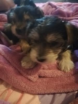 Yorky puppies for sale - 6 weeks old