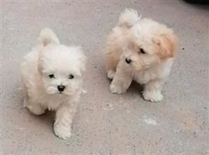 Maltese Puppies In Pets In Kwazulu Natal Junk Mail
