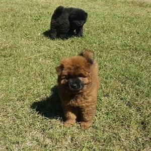 Large Chinese Chow chow pups