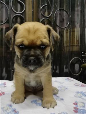 Pug cross Yorkie