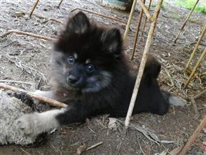 Beautiful pomeranian male puppy