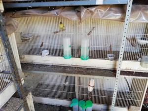 Double bredding cages for canaries