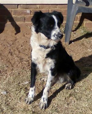 Purebred Border Collie male