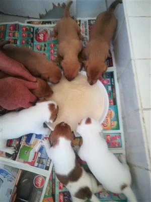 Jack Russels pups